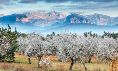 The almond blossom is here!